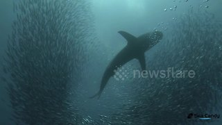 Large shark glides ominously through swarm of sardines - Video
