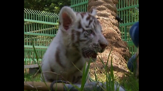 Rare White Bengal Tiger Cub - Video