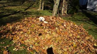 Labrador Retriever Loves Leaf Piles - Video