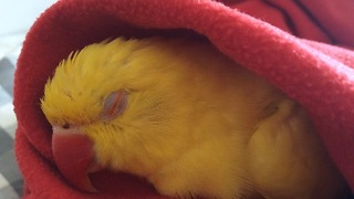 Snoring parrot makes cutest sounds ever - Video