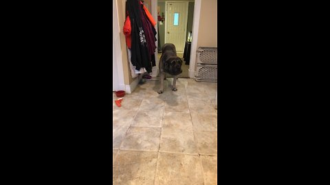 Confused mastiff afraid to walk on laminate floor