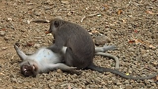 Monkey business with a happy ending  - Video