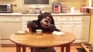 """Human"" bulldog enjoys a snack"