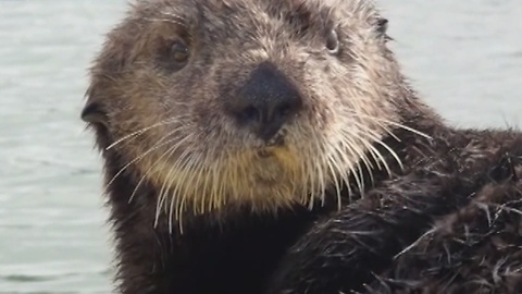 Sea Otter Goes For A Kayak Ride