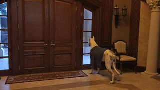 Funny Relaxing Barking Great Dane Watch Dogs - Video