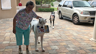 Great Danes help elderly woman bring in groceries