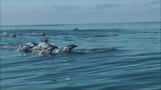 School of Dolphins Joyfully Swim Beside Boat - Video