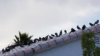 Clark County commissioners to explore pigeon birth control to combat problem - Video