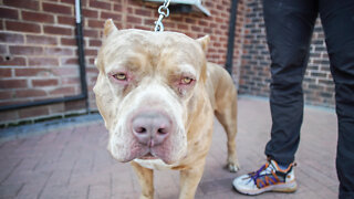 Meet Aftermath's Son - Marshall The 115lb Merle Bully | BIG DOGZ