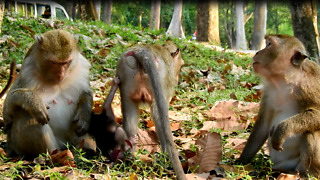 Strong Monkey Family At Angkor Thom Temple