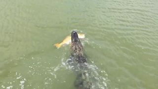 Aligator Steals The Catch Of The Day - Video