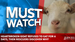 Heartbroken Goat Refuses To Eat For 6 Days, Then Rescuers Discover Why - Video