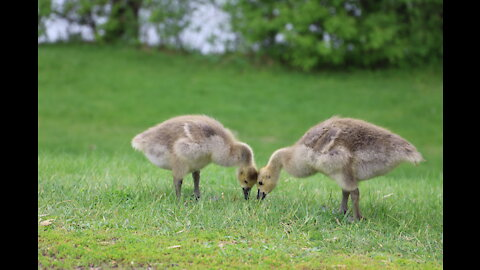 Enormous amount of goslings safely cross the street