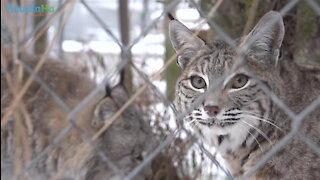 Beautiful Friendship Forms At Minnesota Wildcat Sanctuary