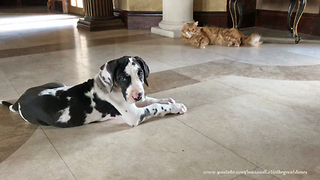 Laid back cat is amused by Great Dane puppy