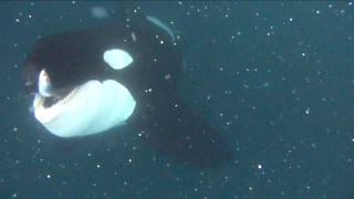 Diver Comes Close To A Killer Whale While It Hunts For Fish  - Video
