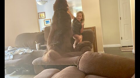 Little girl sweetly trains her large Newfoundland dog