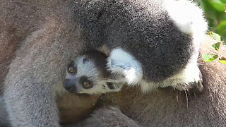 Lemur family is crazy about newborn baby
