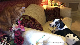 Funny Cat Hums At Barking Great Dane Puppy