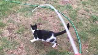 Excited Cat Loves Chasing Hose Water Around Garden - Video