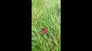 Amazing butterfly in grass