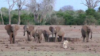 Scared of the elephant in the room – Lioness chased off repeatedly by matriarch - Video
