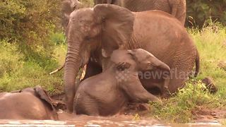 Young elephant shows heart during repeated attempts to get out of river