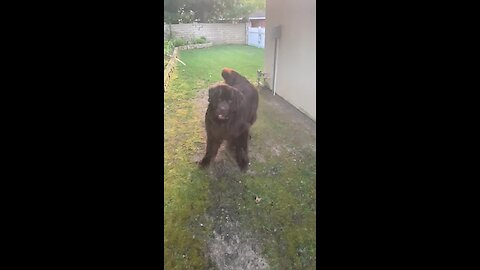 This Newfie can't contain his excitement for a game of fetch