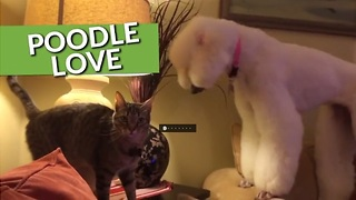 From Epic Playtime To Making Friends, These Poodles Are Simply The Best! - Video