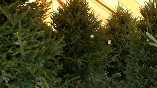 Christmas tree are in short supply - Video