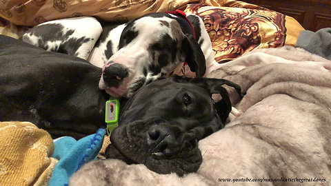 Great Dane and puppy best friend snuggle together