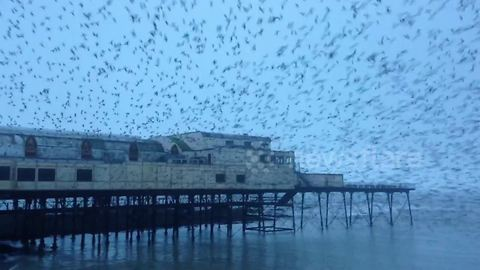 Thousands of starlings burst out from under The Royal Pier in Aberystwyth