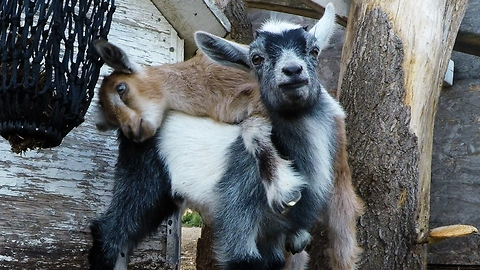 Playful Baby Goats Find A Fun Toy In The Farmyard