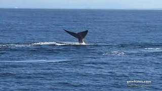 Rare Number of Blue Whales Appear in Monterey Bay - Video