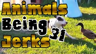 Animals Being Jerks #31 - Video