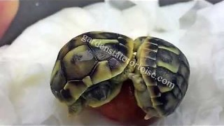 Separating Tortoise Twins - Video