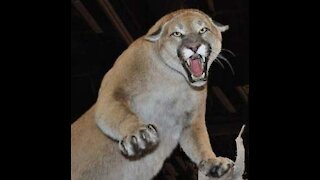 Protect Yourself from Mountain Lion & Cougar Attacks