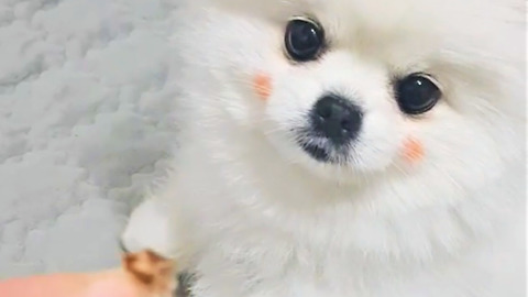 Pomeranian wearing makeup begs for a treat