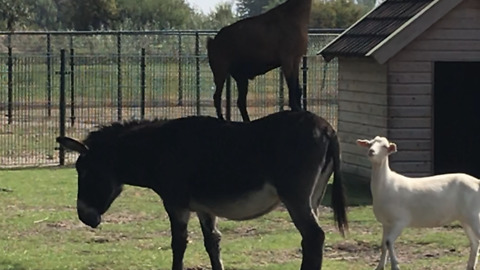 Goat jumps on donkey's back to reach leaves