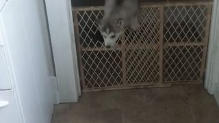 7-week-old puppy is an expert escape artist