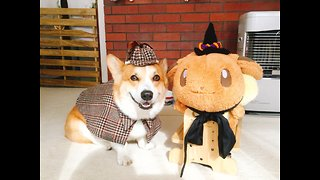 Corgi dresses up as detective for Halloween - Video