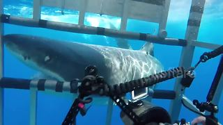 Huge Great White Shark Attacks Cage With Divers Inside - Video