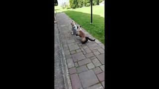 Pet cat and dog have ferocious UFC style fight - Video