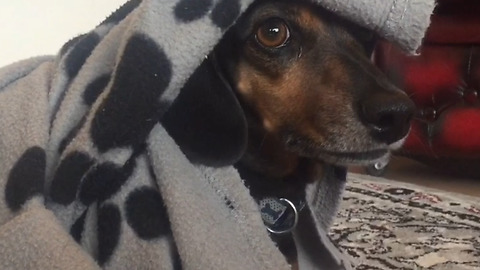 Cute Sausage Dog goes Mad sorting out his Blankets