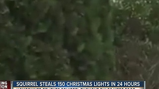 Squirrel steals 150 Christmas lights in 24 hours - Video