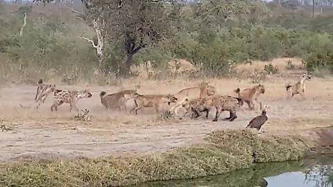 Hyenas relentlessly harass lions until they give up their kill
