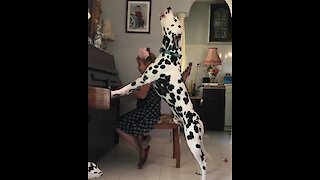 Dalmatian sings along during little girl's piano practice