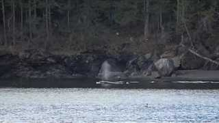 Group of Killer Whales Spotted Off San Juan Island - Video