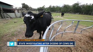 Cattle deaths could be linked to potential toxic feed