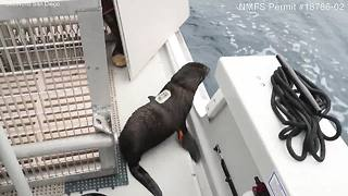 Three fur seals released back into the ocean
